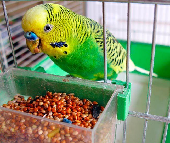 Питание волнистого попугая