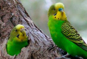 Гнездо волнистых попугаев