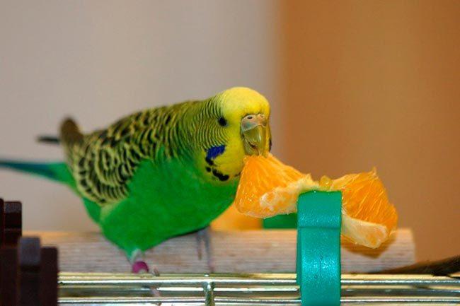 Кормление волнистого попугая