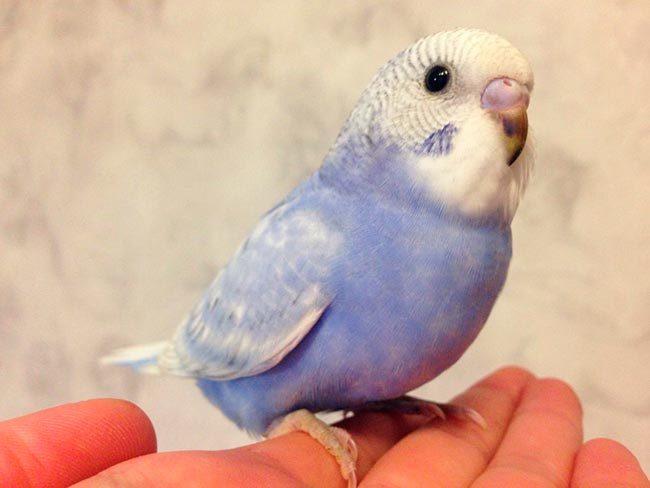 Птенец волнистого попугая