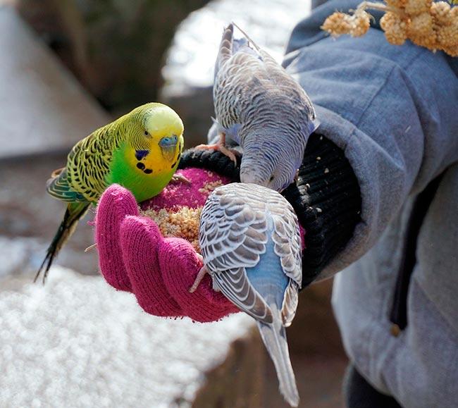 Ручные волнистые попугаи