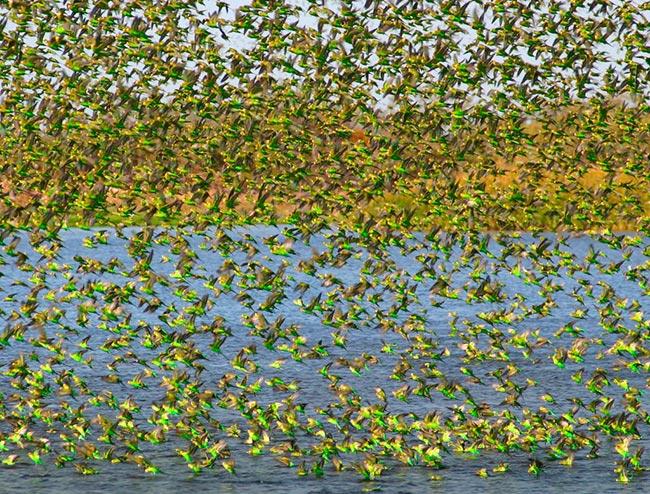 Волнистые попугае на воле