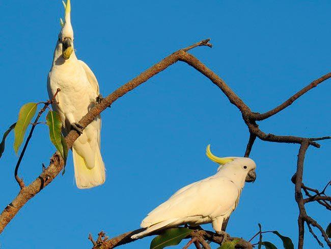 какаду в природе