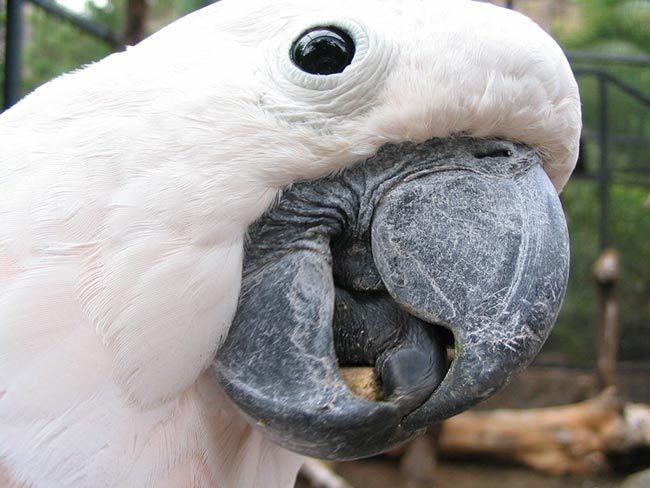 попугайчик какаду