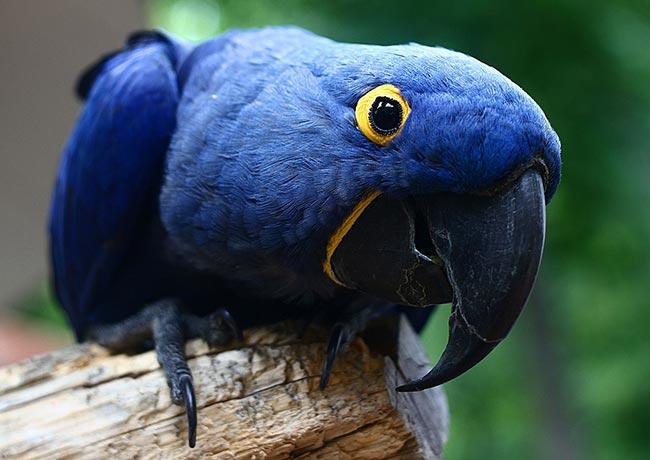 Ава гиацинтовый ара