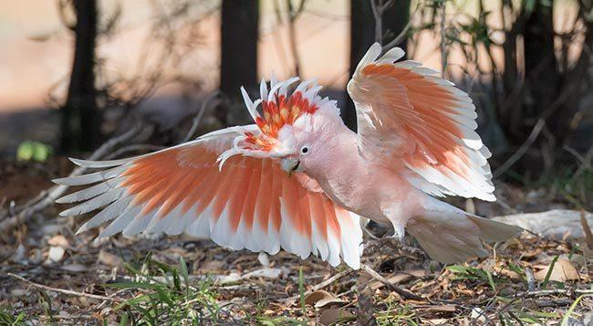 Какаду Инка в дикой природе