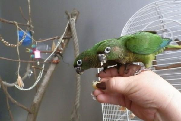 Пара попугаев пиррура