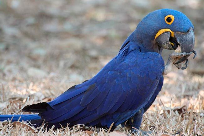Синий гиацинтовый ара