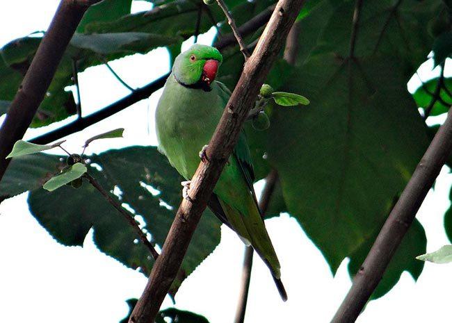 Ожереловый попугай в дикой природе