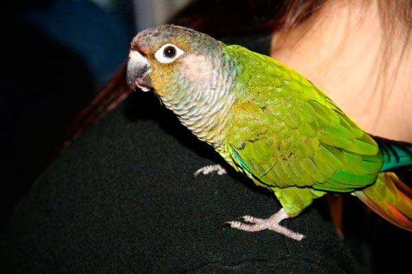пиррура попугай