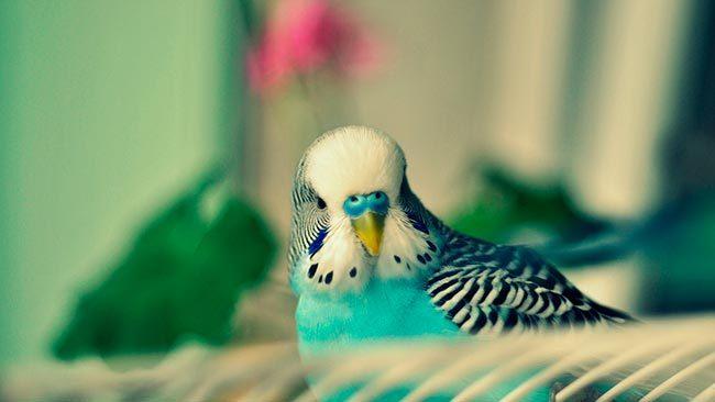 Птица волнистый попугай