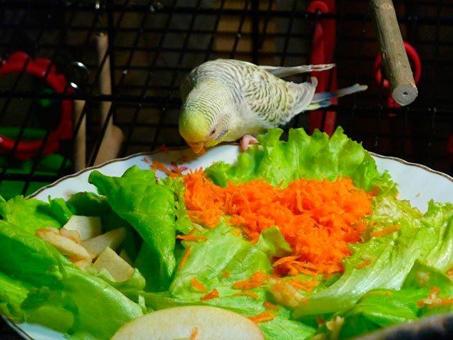 Волнистик ест овощи