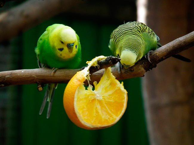 Волнистые попугаи едят апельсин