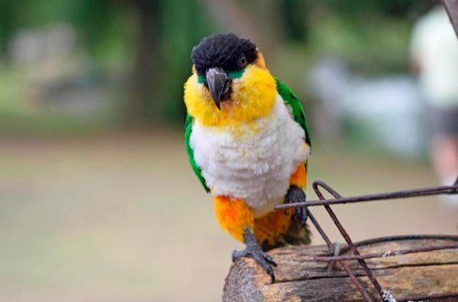 каик попугай