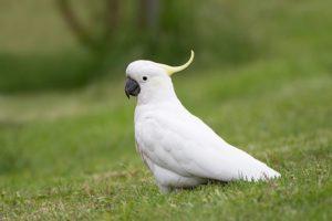 какаду попугай