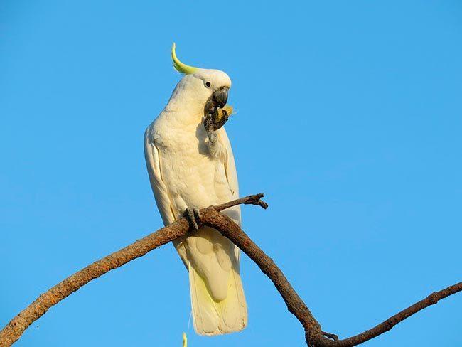 какаду в дикой природе