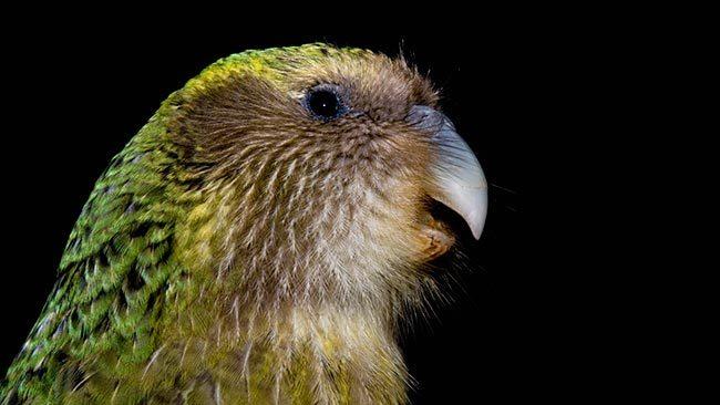 какапо нелетающий попугай