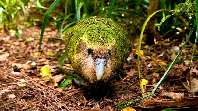 какапо попугай