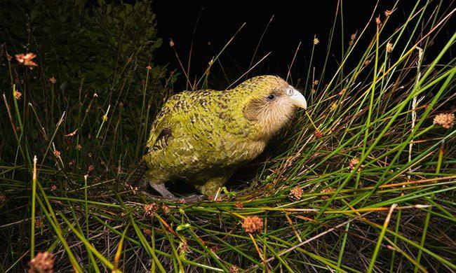 нелетающий попугай