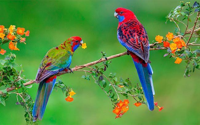 попугаи розелла