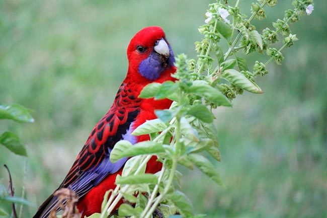 розелла птица