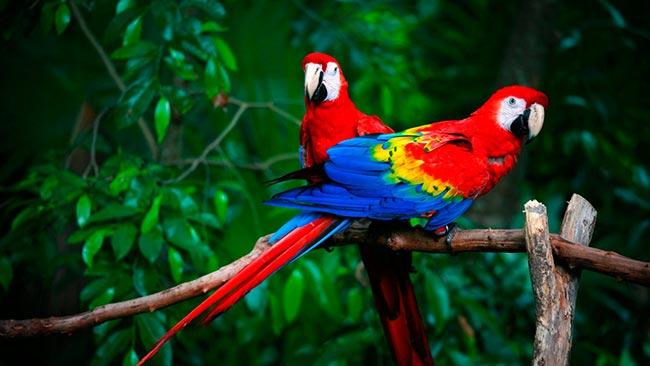 пара красный ара