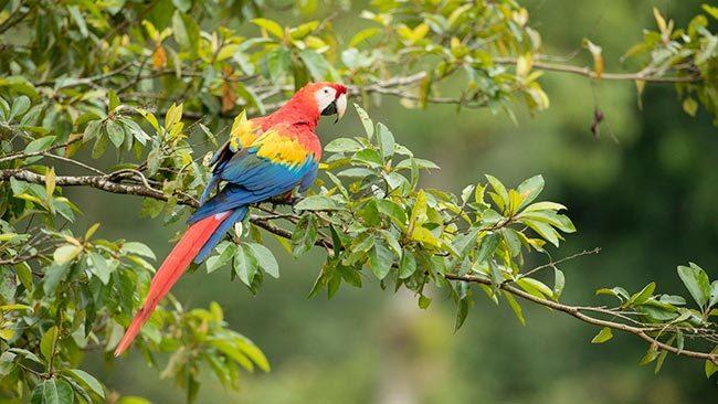 попугай красный ара