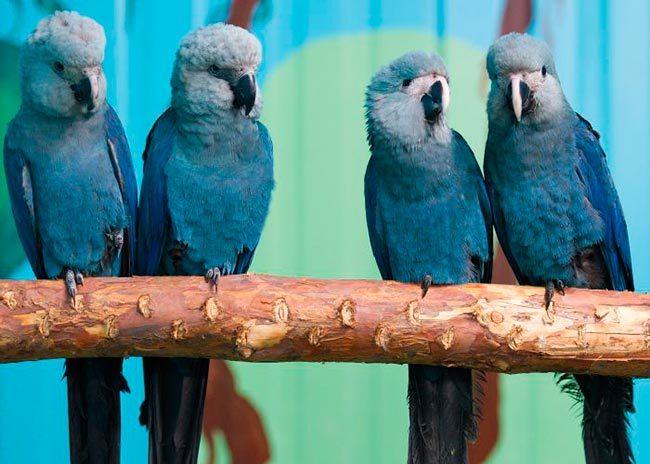 голубые ары
