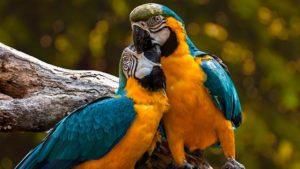 Сине-желтые Ары