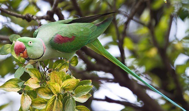 Александров кольчатый попугай
