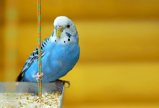 Волнистый попугай уход и содержание