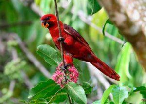 лори-кардинал