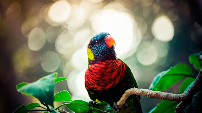 многоцветный лори