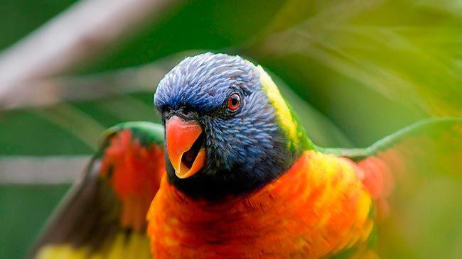 попугайчик лори
