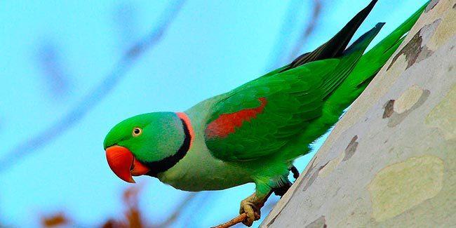александров кольчатый попугаи