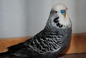 Черный волнистый попугай