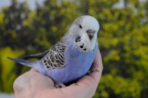Фиолетовый волнистый попугай