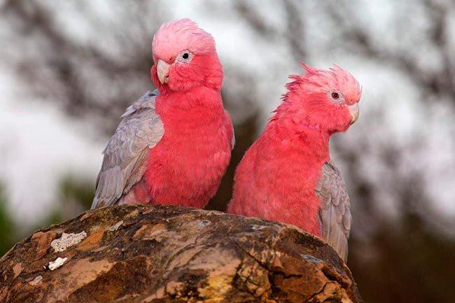 пара розовый какаду