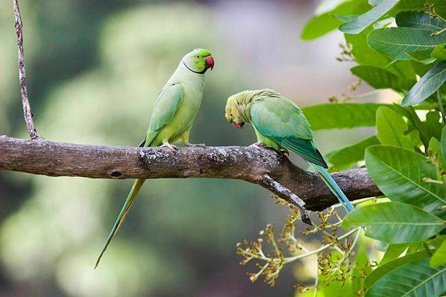попугаи крамера