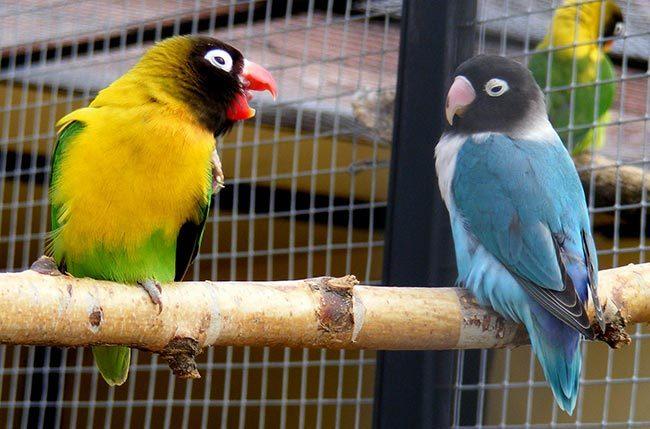 попугаи неразлучники масковые