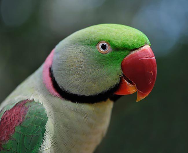 попугай александрийский