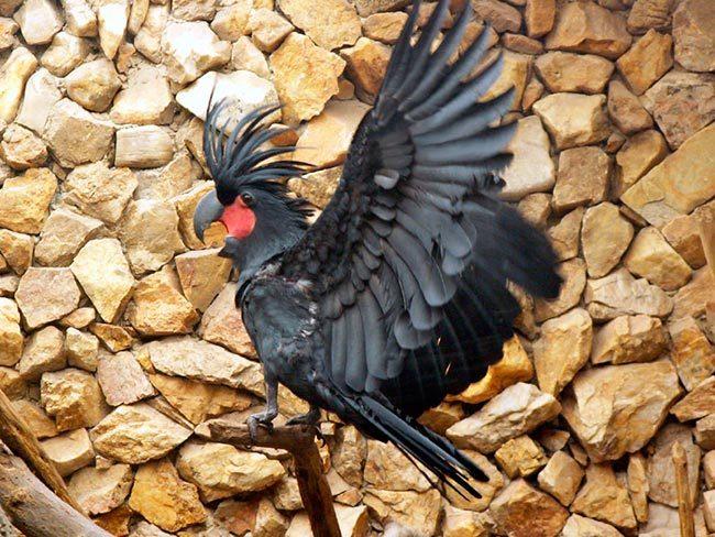 попугай черный какаду