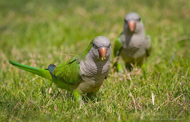 попугай калита