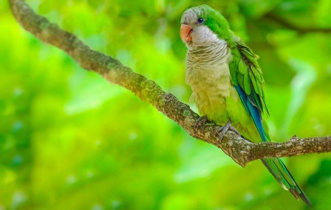 попугай монах