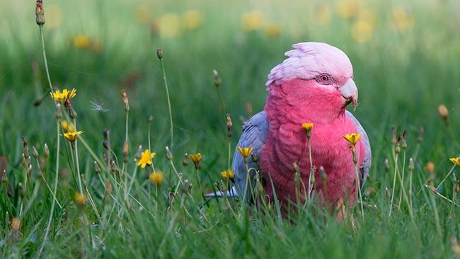 попугай розовый какаду