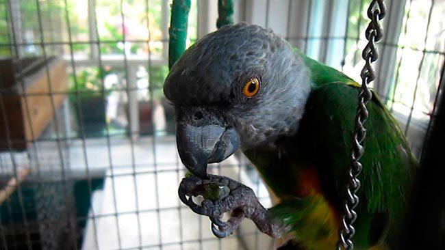 попугай сенегальский