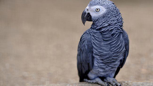 попугайчик жако