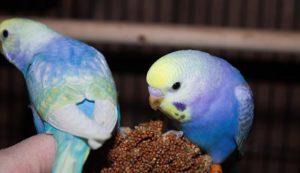 Радужные волнистые попугаи