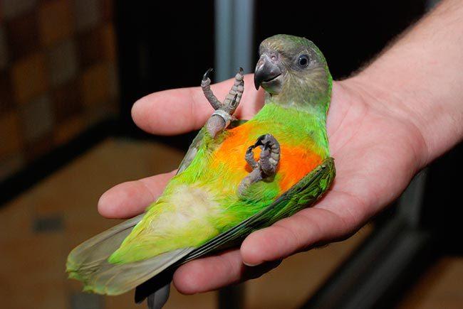 сенегал попугай