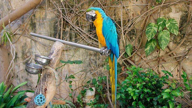 сине желтый ара в вольере